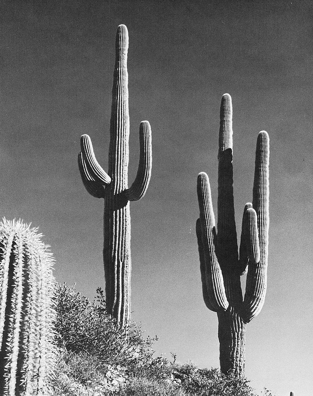Fpw_18_Arizona-Saguaro National Monument, near Tucson_Donald M. Witte_sqs